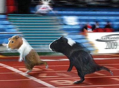 Photo of racing guinea pigs